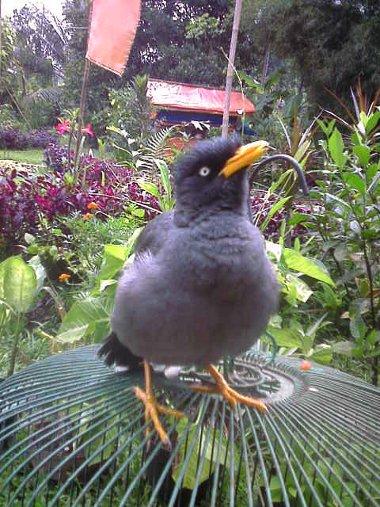 46+  Gambar Burung Jalak Kebo Jantan HD Paling Keren