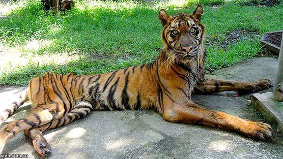 """""""...Ilustrasi Kondisi Harimau Sumatera Betina Yang Memprihatinkan..."""""""